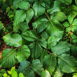 Poison Ivy 195123 1920